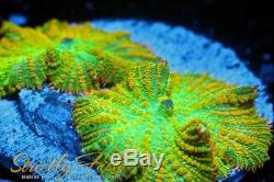 Strictly Fish Tequila Sunrise Rhodactis Live Corals